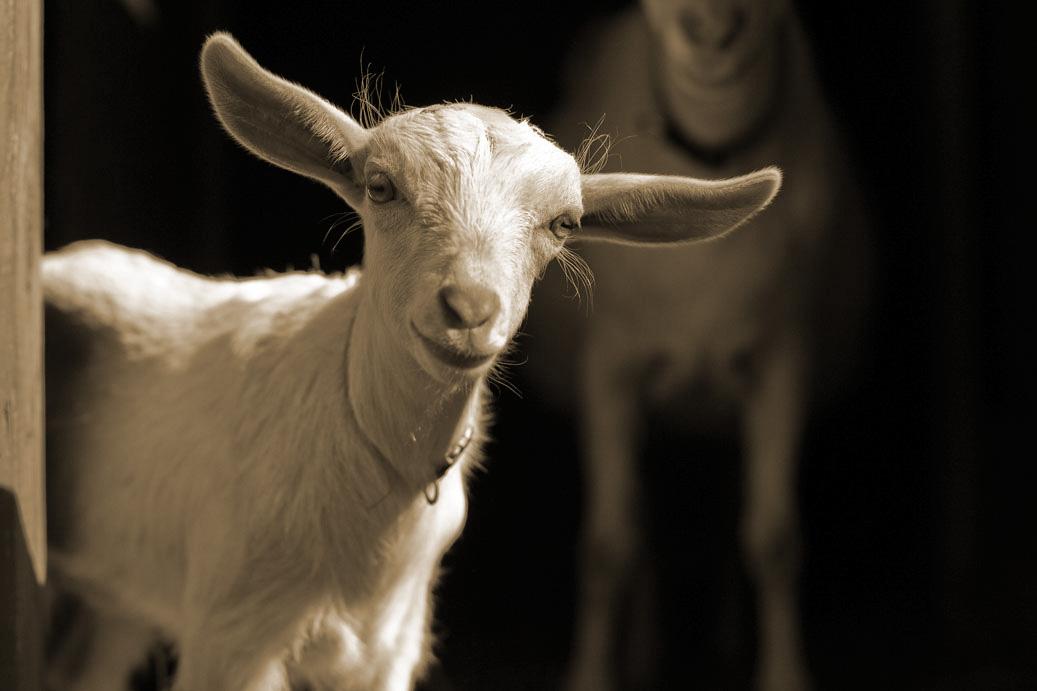 Bone_Creek_goat